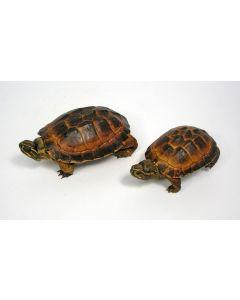 Opgezette schildpadjes, koloniale periode